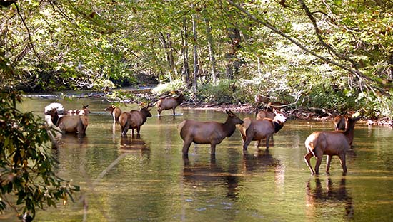 elk_in_river